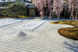 しだれ桜咲く高台寺波心庭と勅使門の写真素材 [FYI03847212]