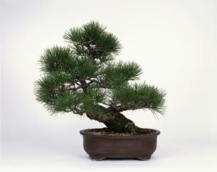 盆栽・松の写真素材 [FYI03847299]