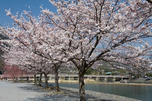 中之島公園の桜と渡月橋の写真素材 [FYI03847628]