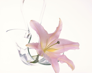 ガラスの花器に生けたユリのアップの写真素材 [FYI03847819]