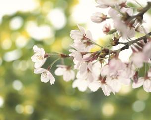 桜の花が咲いた小枝の写真素材 [FYI03847836]