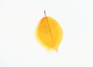 黄葉した葉の写真素材 [FYI03847887]