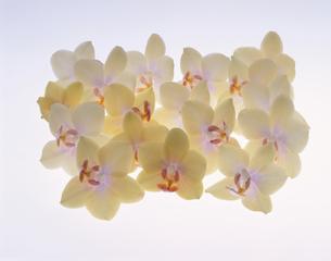 複数のミニコチョウラン(白)の写真素材 [FYI03847996]
