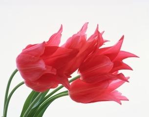 ピンクのチューリップの写真素材 [FYI03848001]