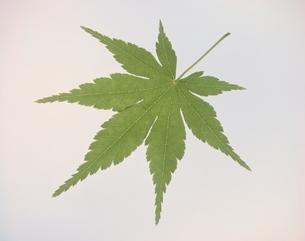 緑の葉 モミジの写真素材 [FYI03848014]