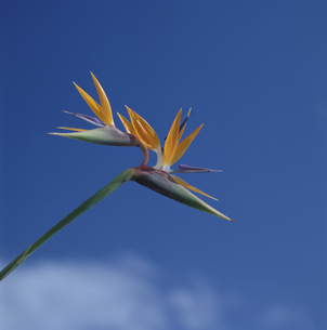 ゴクラクチョウ花と空 ハワイ アメリカの写真素材 [FYI03848091]