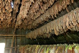 タバコの葉の乾燥 ビニャーレス渓谷の写真素材 [FYI03848184]