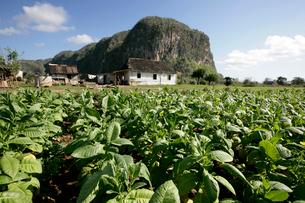 タバコ畑 ビニャーレス渓谷の写真素材 [FYI03848189]
