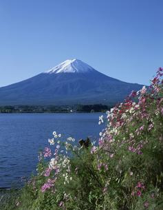 富士山と河口湖のコスモス 山梨県の写真素材 [FYI03848350]