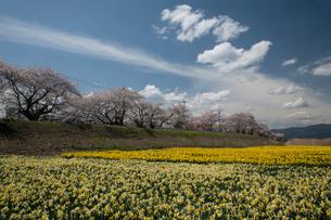 桜とスイセンの写真素材 [FYI03848399]