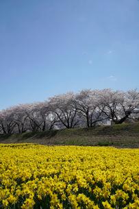 桜並木とスイセンの写真素材 [FYI03848401]