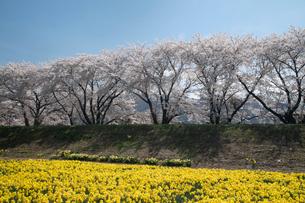 桜とスイセンの写真素材 [FYI03848406]