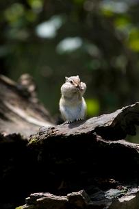 大宮市民の森公園シマリスの写真素材 [FYI03848442]