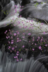 日光竜頭の滝とツツジの写真素材 [FYI03848513]
