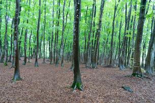 新緑の美人林の写真素材 [FYI03848565]