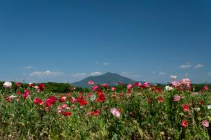 シャーレポピーと筑波山の写真素材 [FYI03848593]