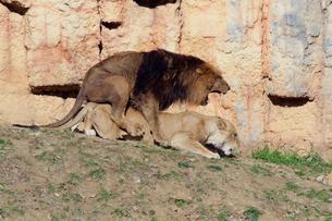 交尾をするライオンの写真素材 [FYI03849086]