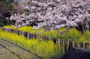 線路脇の桜の木と菜の花の写真素材 [FYI03849145]