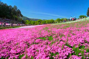 羊山公園のシバザクラの写真素材 [FYI03849582]
