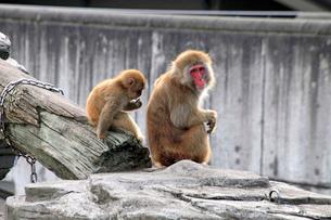 悠久山小動物園 ニホンザルの写真素材 [FYI03849712]