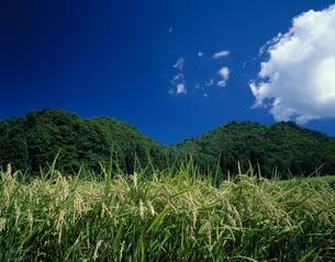 稲穂と流れる雲の風景 信濃町 長野の写真素材 [FYI03849763]