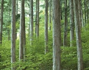 日本三大美林のひとつの木曽の檜   大桑村 長野県の写真素材 [FYI03849767]