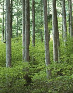 木曽ひのきの林  長野県の写真素材 [FYI03849778]