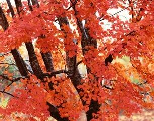 紅葉の写真素材 [FYI03849786]