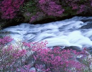 ヤシオツツジが咲く竜頭の滝 日光市 栃木県の写真素材 [FYI03849808]