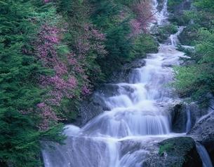 ヤシオツツジ咲く龍頭の滝    日光市 栃木県の写真素材 [FYI03849809]