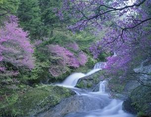 ヤシオツツジと龍頭の滝 日光市 栃木県の写真素材 [FYI03849810]