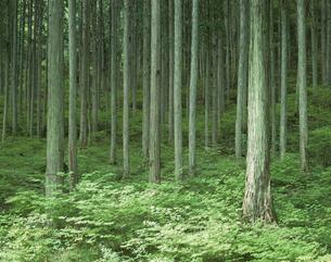 木曽ひのきの森 大桑村 長野県の写真素材 [FYI03849860]