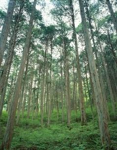 木曽ひのき   大桑村 長野県の写真素材 [FYI03849868]