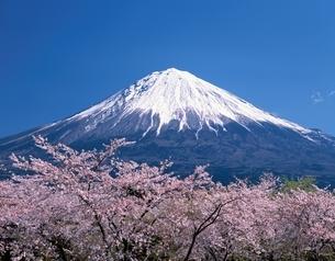 富士山と桜  静岡県の写真素材 [FYI03849869]