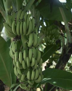 豊かに実るバナナ(緑色) 沖縄県の写真素材 [FYI03849884]