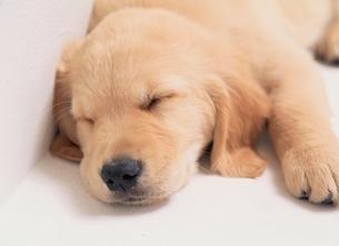眠るゴールデンレトリバーの写真素材 [FYI03850249]