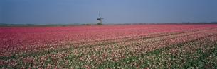 風車の見えるチューリップ畑 オランダの写真素材 [FYI03850327]
