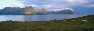 早朝の島の羊達    ラング島 ノルウェーの写真素材 [FYI03850367]