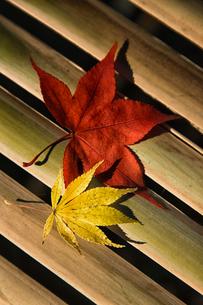 紅葉のモミジの写真素材 [FYI03850711]