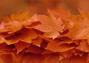 落葉の写真素材 [FYI03851439]