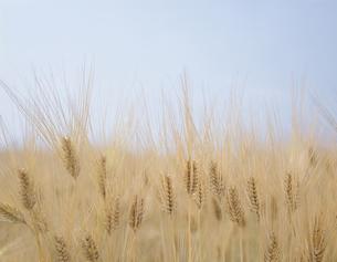 大麦の写真素材 [FYI03851451]
