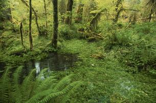オリンピック国立公園の森林 ワシントン州 アメリカ合唱国の写真素材 [FYI03851555]