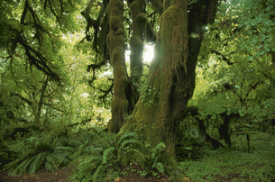 オリンピック国立公園の森林 ワシントン州 アメリカ合唱国の写真素材 [FYI03851556]