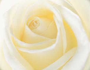 白いバラのアップの写真素材 [FYI03851680]