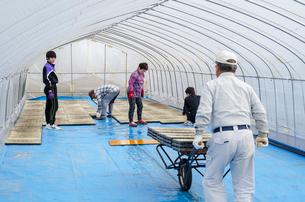 苗床作り 苗床をビニールハウスへ搬入、敷き詰めの写真素材 [FYI03851710]