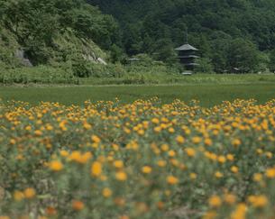 紅花と阿久津八幡宮・三重塔  山形県の写真素材 [FYI03851942]