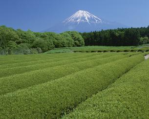 茶畑と富士山 富士宮市 静岡の写真素材 [FYI03852883]