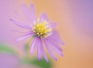 紺菊の写真素材 [FYI03852978]