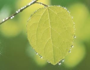 葉についた水滴の写真素材 [FYI03853155]