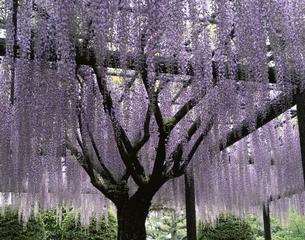藤の花の写真素材 [FYI03853308]